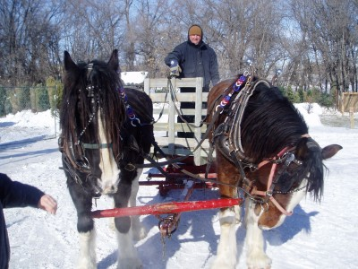 Meet Romeo (R) & King (L). Yvonne, Hart, Bailey & Callie went on a Sleigh Ride. The handler kept saying ~Easy Fellows .. Walk. They wanted to run!